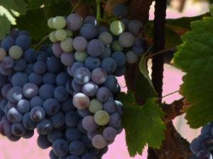 encuentro anavre canarias ruta del vino